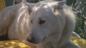 Fehér kutya háttérkép